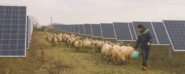 Depuis un an, les outils mécaniques utilisés habituellement pour l'entretien du sol ont été délaissés à Allonnes au profit de moutons, dans le cadre d'un partenariat avec un éleveur local.